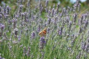 Vauxhall park lavender intro image